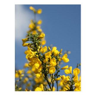 Broom Scotch Wildflowers Postcard