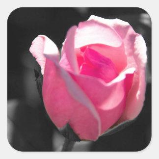 Brote color de rosa rosado BW Pegatina Cuadrada