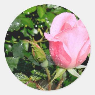 Brote color de rosa rosado con descensos del agua pegatina redonda