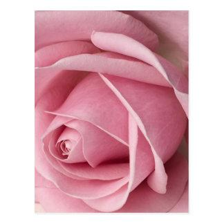 Brote color de rosa rosado precioso