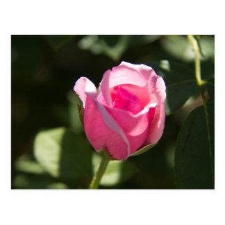 Brote color de rosa rosado tarjeta postal