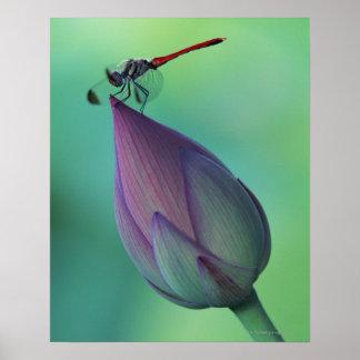 Brote de flor de Lotus y una libélula Póster