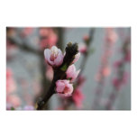 Brote de flor rosado de la primavera posters