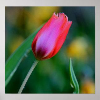 brote del tulipán póster