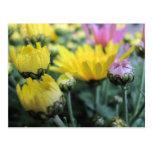 Brotes amarillos y rosados del crisantemo tarjetas postales