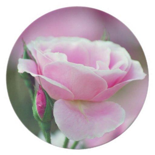 Brotes color de rosa y color de rosa rosados apaci plato de comida