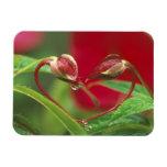 Brotes de la begonia en forma del corazón con desc iman flexible