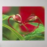 Brotes de la begonia en forma del corazón con desc posters