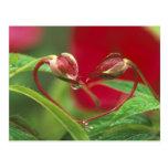 Brotes de la begonia en forma del corazón con desc tarjetas postales