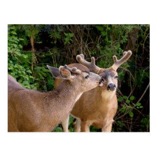 Brotherly Love Deer Bucks Postcard