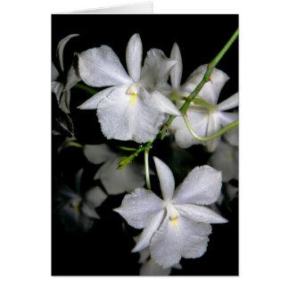 Broughtonia sanguinea f. alba card