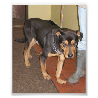 Brown and Black Shepherd Mix with Malformed Leg Photo Print