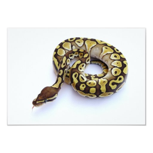 Brown and Gold Ball Python 2 Card