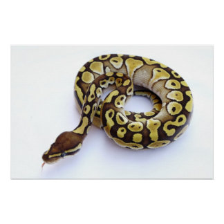 Brown and Gold Ball Python 2 Print