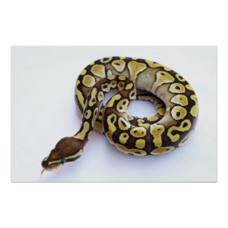 Brown and Gold Ball Python 2 Poster