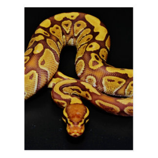 Brown and Gold Ball Python Post Cards
