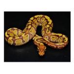 Brown and Gold Ball Python Postcard