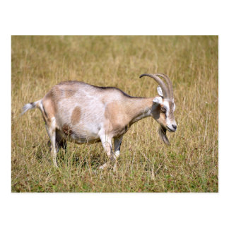 Brown and white goat in grass postcard