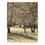 Brown  and white Horsess in tree. Sepia Tone Post Cards