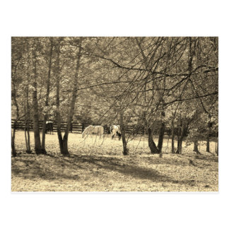 Brown  and white Horsess in tree. Sepia Tone Postcard