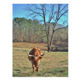 Brown and White Longhorn Bull Blue Sky Postcard