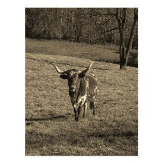 Brown and White Longhorn Bull Sepia Tone Postcard
