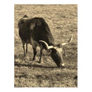 Brown and White Longhorn Bull   White and Brown ca Postcard