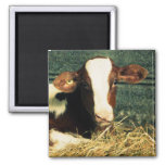 Brown and White Milk Cow Fridge Magnet