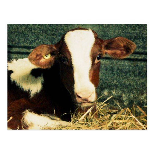 Brown and White Milk Cow Postcard