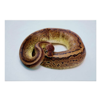 Brown Ball Python Poster