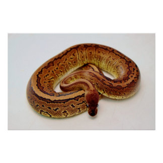 Brown Ball Python Print