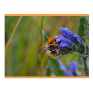 Brown-Banded Carder Bee on Bugloss Postcard
