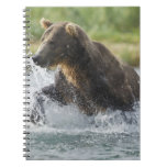 Brown Bear chasing salmon in river Spiral Note Book
