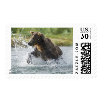 Brown Bear chasing salmon in river Postage