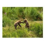 Brown bear cubs playing postcard