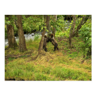 Brown bear cubs wrestling in the woods postcards