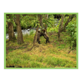 Brown bear cubs wrestling in the woods post cards