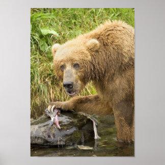 Brown Bear Feeding on Salmon 1 Poster