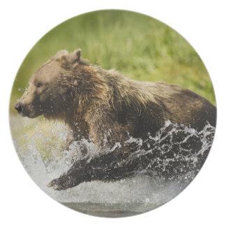 Brown bear, female, fishing for salmon plate