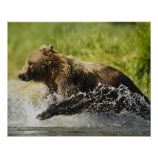 Brown bear, female, fishing for salmon poster