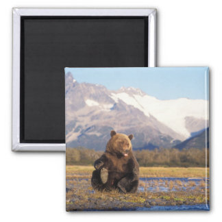 Brown bear, grizzly bear,  in riverbed with magnet