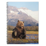 Brown bear, grizzly bear,  in riverbed with spiral note book
