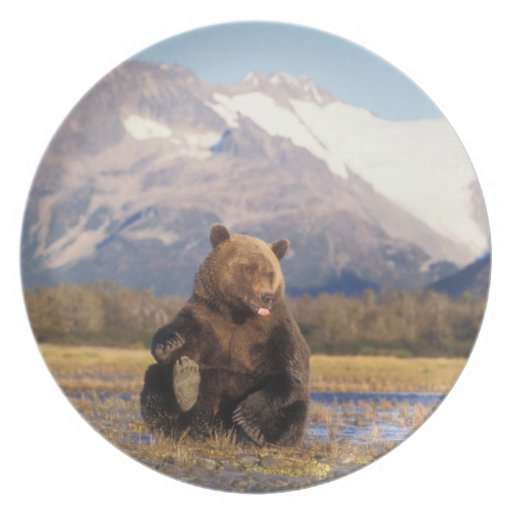 Brown bear, grizzly bear,  in riverbed with plate