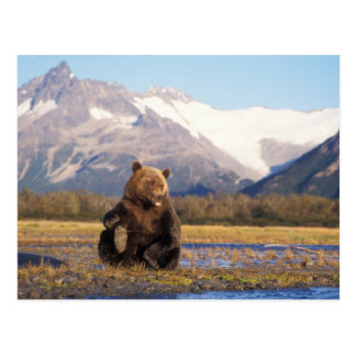 Brown bear grizzly bear in riverbed with postcards