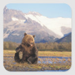 Brown bear, grizzly bear,  in riverbed with square sticker