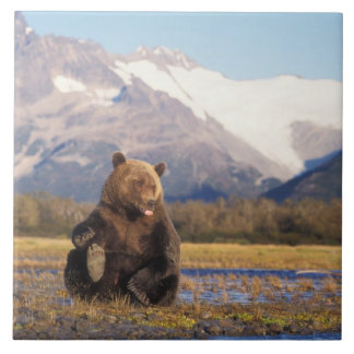 Brown bear, grizzly bear,  in riverbed with large square tile