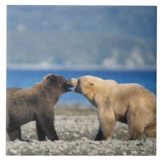 Brown bear, grizzly bear, play on the beach, large square tile