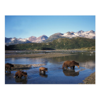 Brown bear, grizzly bear, sow and cubs in postcard