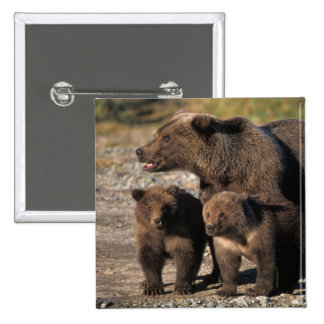 Brown bear, grizzly bear, sow with cubs looking button