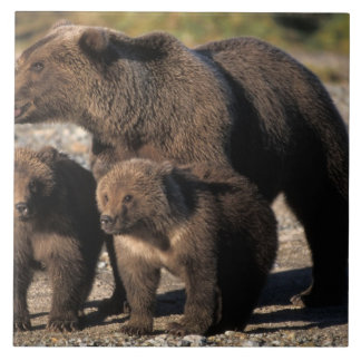 Brown bear, grizzly bear, sow with cubs looking ceramic tile